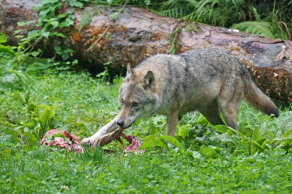 wolf-1583206_960_720