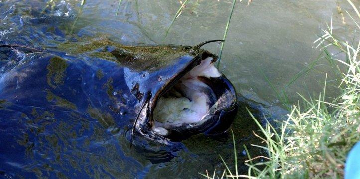 le-silure-est-le-plus-grand-poisson-d-eau-douce-d-europe_580812