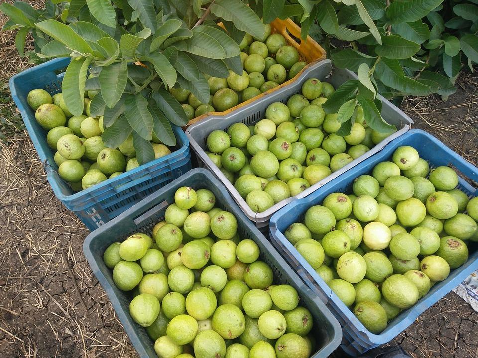 guava-1909868_960_720